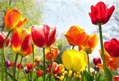 bulbi_3_tulipani
