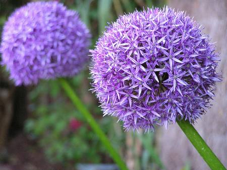 bulbi_7_allium