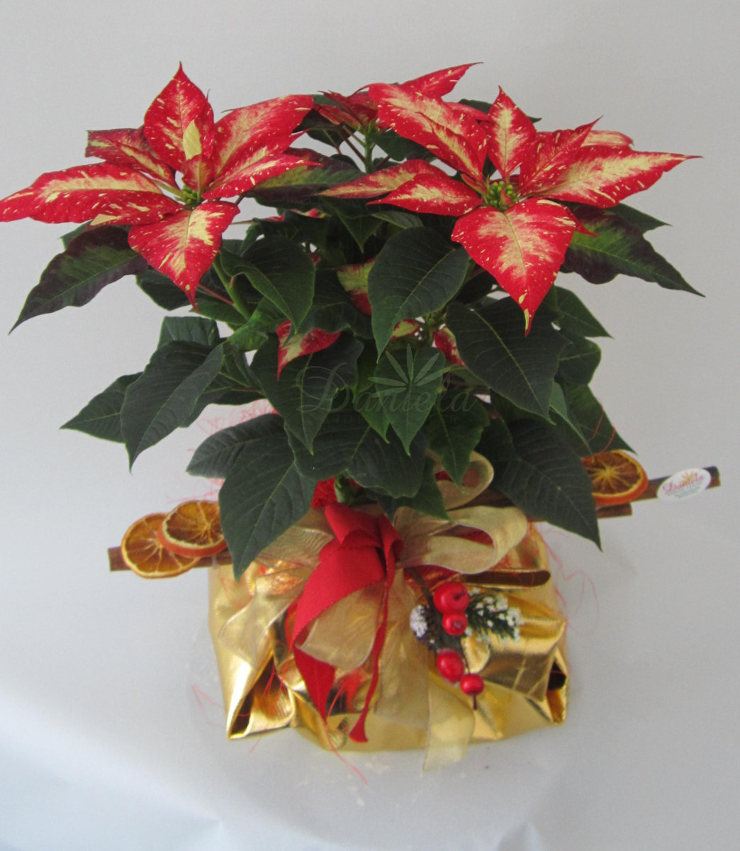 Immagini Stella Di Natale Glitter.Daniela Garden Center Un Progetto Di Floricoltura A Passo32