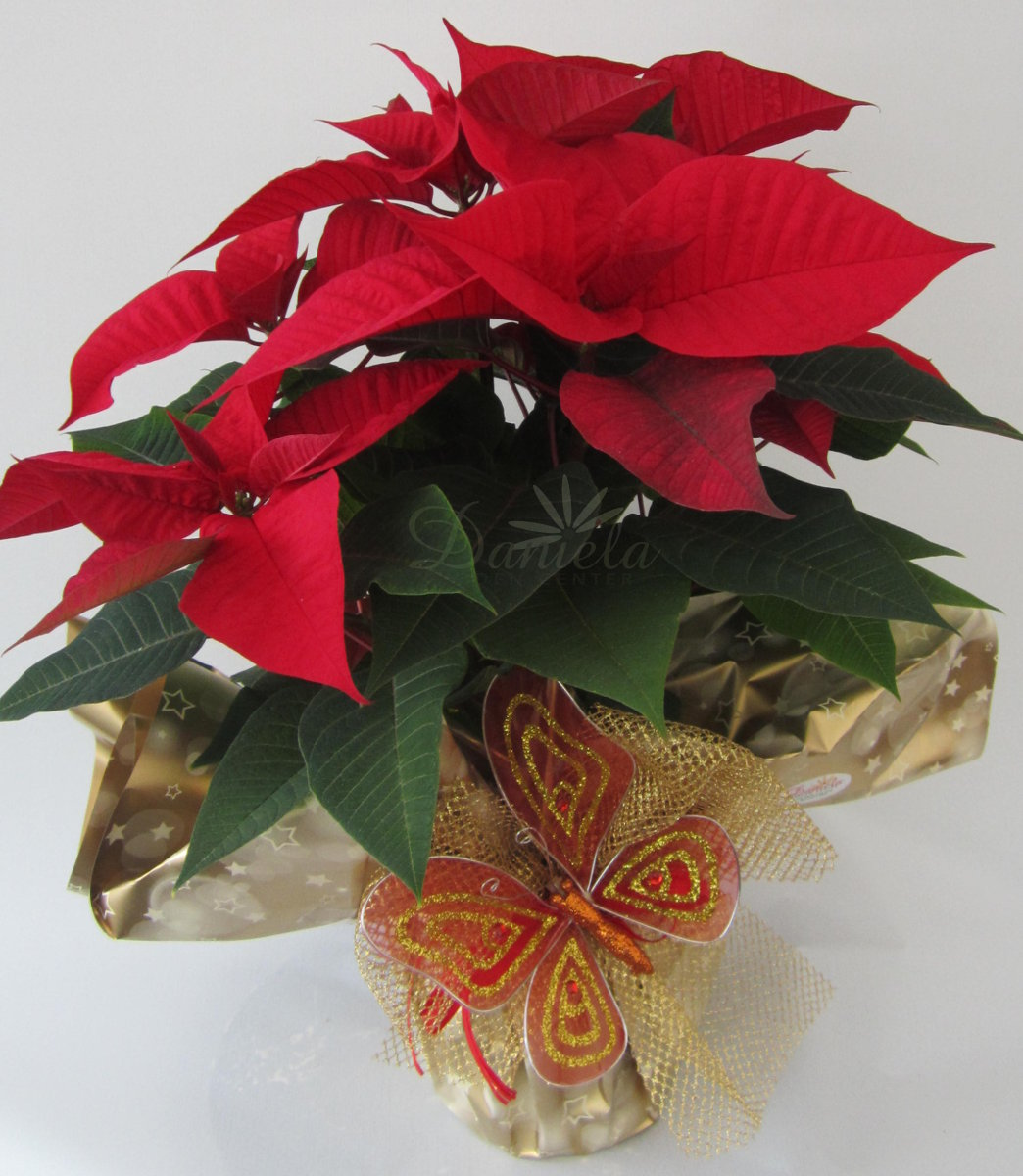 Stella Di Natale Quanta Acqua.Daniela Garden Center Un Progetto Di Floricoltura A Passo32