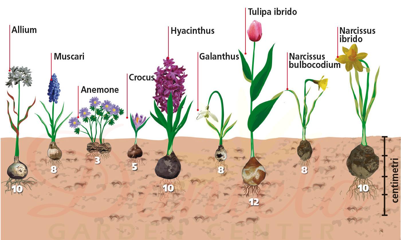 Piantare I Bulbi Di Tulipani daniela garden center | un progetto di floricoltura a passo32